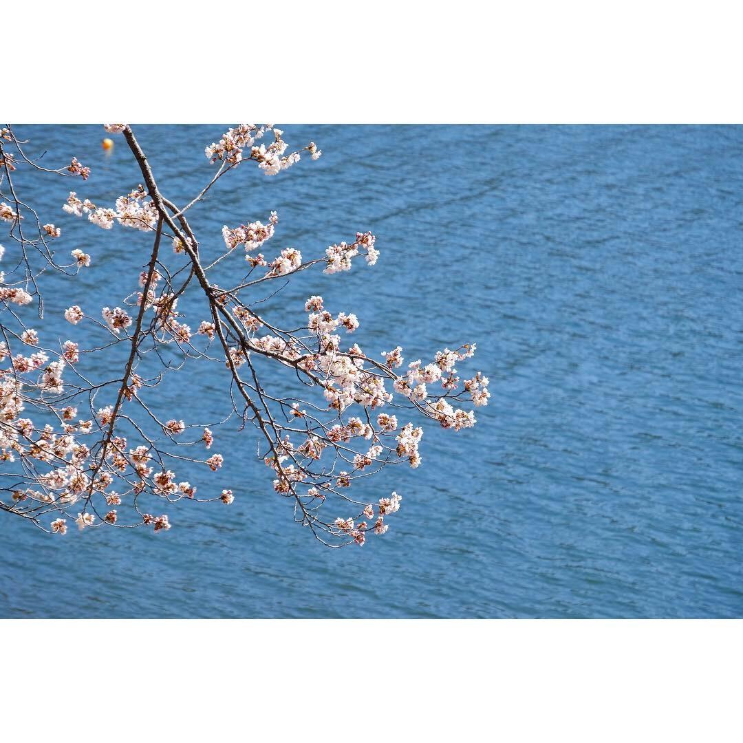 河口湖の桜_a0335867_13280989.jpeg