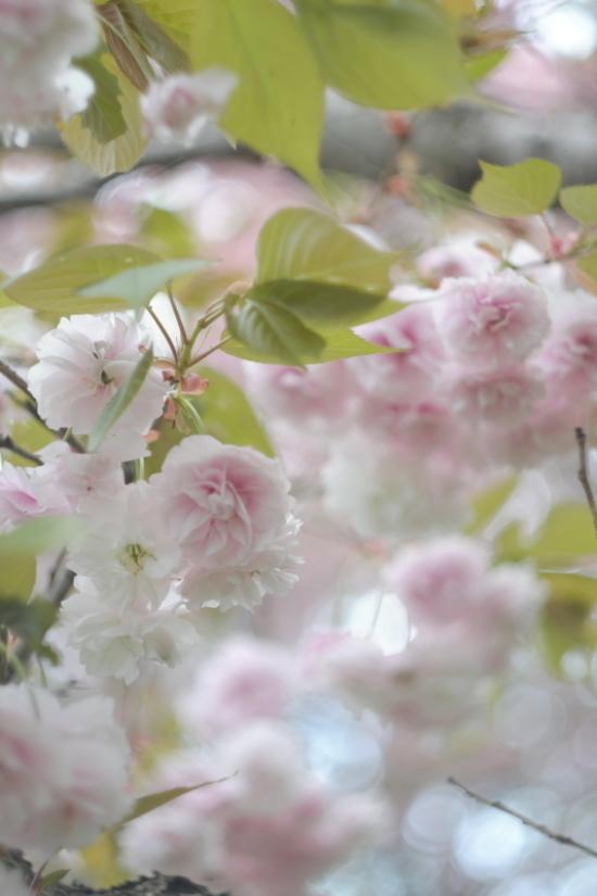 桃色に染まる牧場_d0021491_11574795.jpg