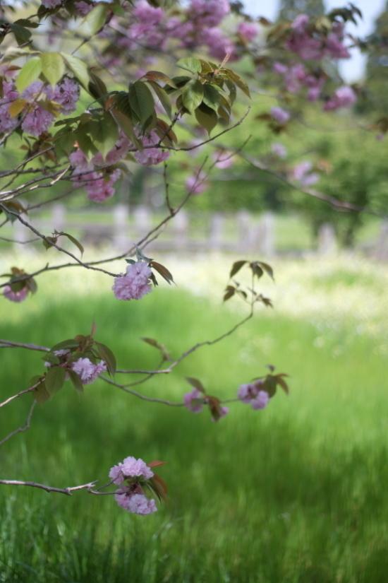 桃色に染まる牧場_d0021491_11575433.jpg