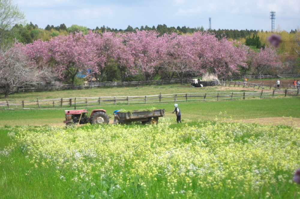 桃色に染まる牧場_d0021491_12360207.jpg