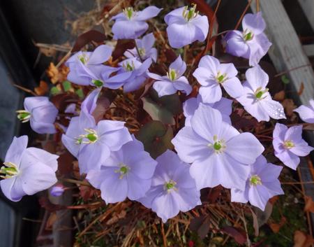 タツタソウ、ワサビの花、八重咲きバイカカラマツなど_a0136293_17314973.jpg