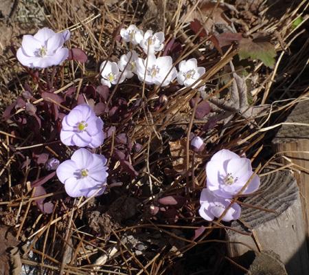 タツタソウ、ワサビの花、八重咲きバイカカラマツなど_a0136293_17374425.jpg