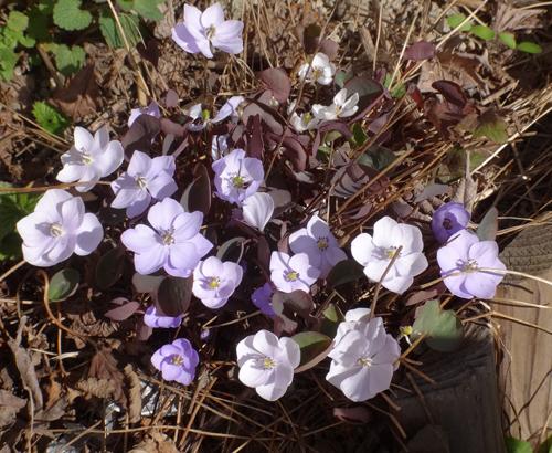 タツタソウ、ワサビの花、八重咲きバイカカラマツなど_a0136293_17391641.jpg