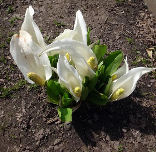 タツタソウ、ワサビの花、八重咲きバイカカラマツなど_a0136293_17421421.jpg