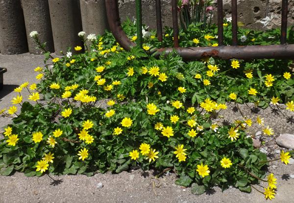 タツタソウ、ワサビの花、八重咲きバイカカラマツなど_a0136293_17424408.jpg