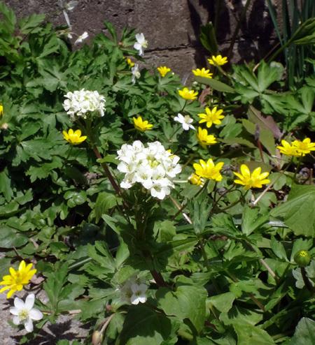タツタソウ、ワサビの花、八重咲きバイカカラマツなど_a0136293_17480774.jpg