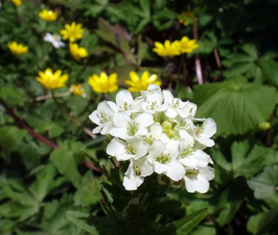 タツタソウ、ワサビの花、八重咲きバイカカラマツなど_a0136293_17491676.jpg