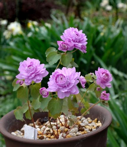 タツタソウ、ワサビの花、八重咲きバイカカラマツなど_a0136293_17493560.jpg