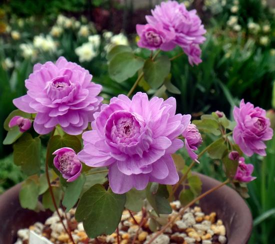タツタソウ、ワサビの花、八重咲きバイカカラマツなど_a0136293_17530141.jpg