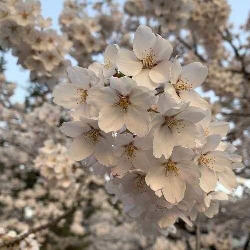 桜の幹が雨に濡れて美しさ増しています 水も滴るいい桜_a0134394_05541226.jpeg