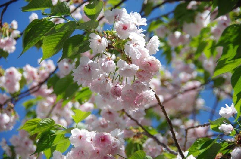大阪造幣局の桜_f0138096_21444396.jpg