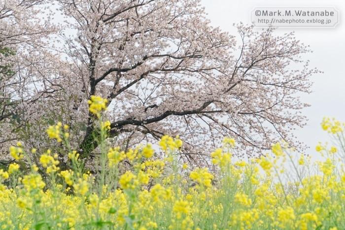 桜の想い出_e0135098_00570814.jpg