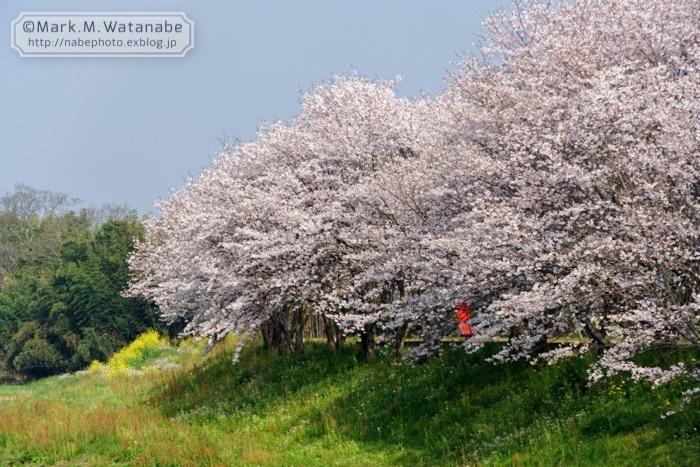 桜の想い出_e0135098_00574317.jpg