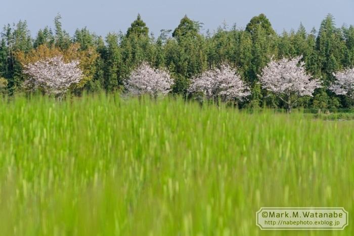 桜の想い出_e0135098_00580164.jpg