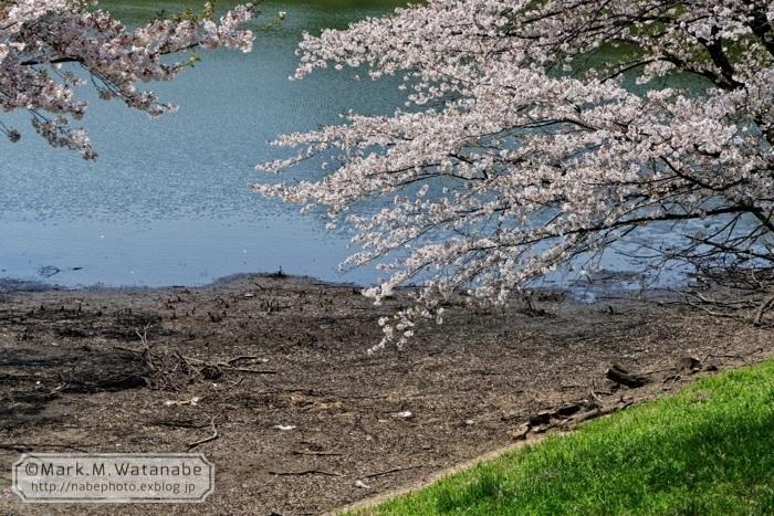 桜の想い出_e0135098_00582729.jpg