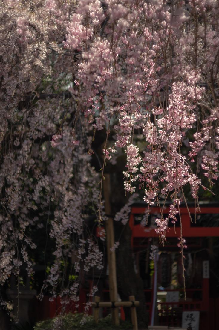 桜 2019年 ~ 水火天満宮 ~_b0221605_18552694.jpg