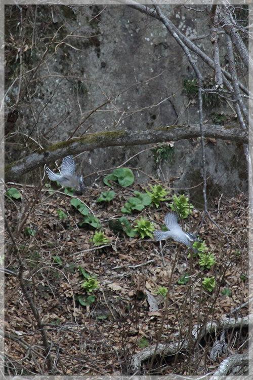 ヤマセミ夫妻も、春。_e0235910_21333627.jpg