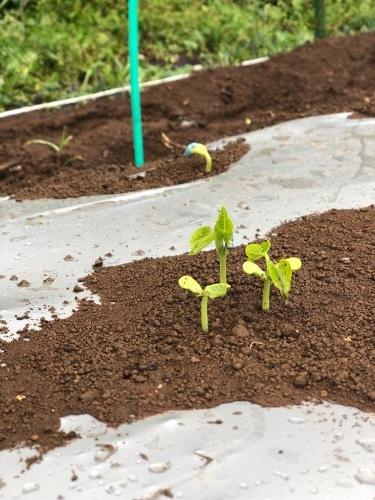 インゲン豆の発芽・・・・夏野菜の苗のチェック _c0222448_12373905.jpg
