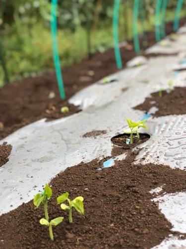 インゲン豆の発芽・・・・夏野菜の苗のチェック _c0222448_12375031.jpg
