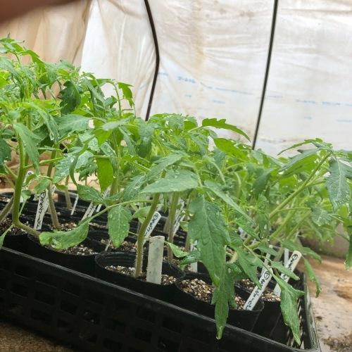 インゲン豆の発芽・・・・夏野菜の苗のチェック _c0222448_12382938.jpg