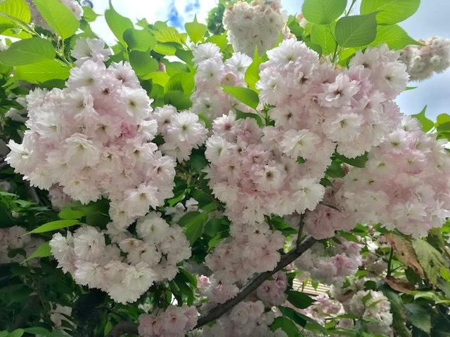 北野をどり最終・螺鈿兎帯・桜の簪・連休の営業。_f0181251_17354832.jpg