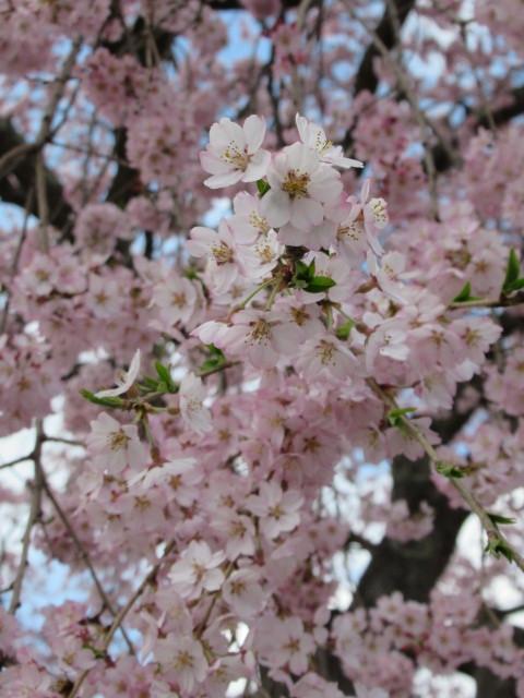 軽井沢の桜速報・2019 * ②リンツ ホワイトチョコレート サクラ アイスドリンク♪_f0236260_01590352.jpg