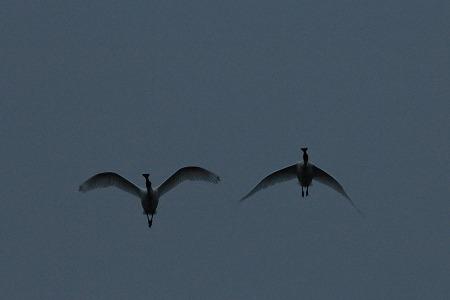 ★上の池に飛来した2羽のクロツラヘラサギ_e0046474_20000391.jpg