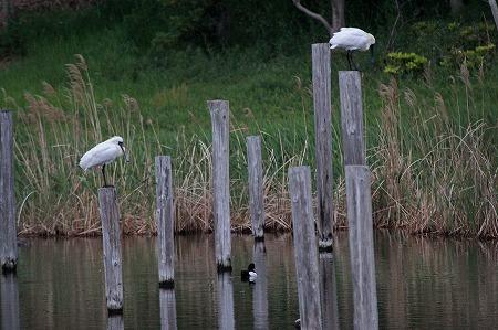 ★上の池に飛来した2羽のクロツラヘラサギ_e0046474_20104960.jpg