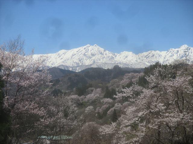 山桜が満開_f0117498_16155694.jpg