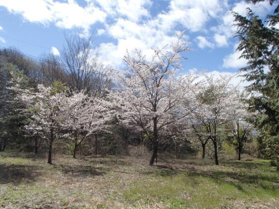 桜咲いた_f0064906_15594003.jpg