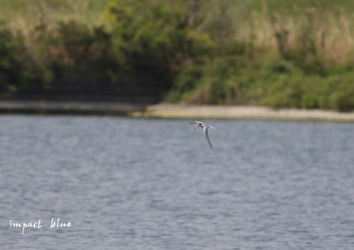 人工湖でコアジサシさん(^^)/ ~続~_a0355908_20073894.jpg