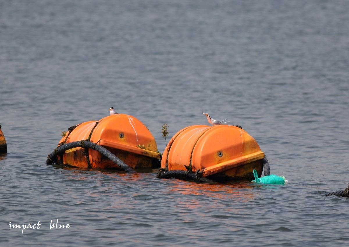 人工湖でコアジサシさん(^^)/ ~続~_a0355908_20074744.jpg