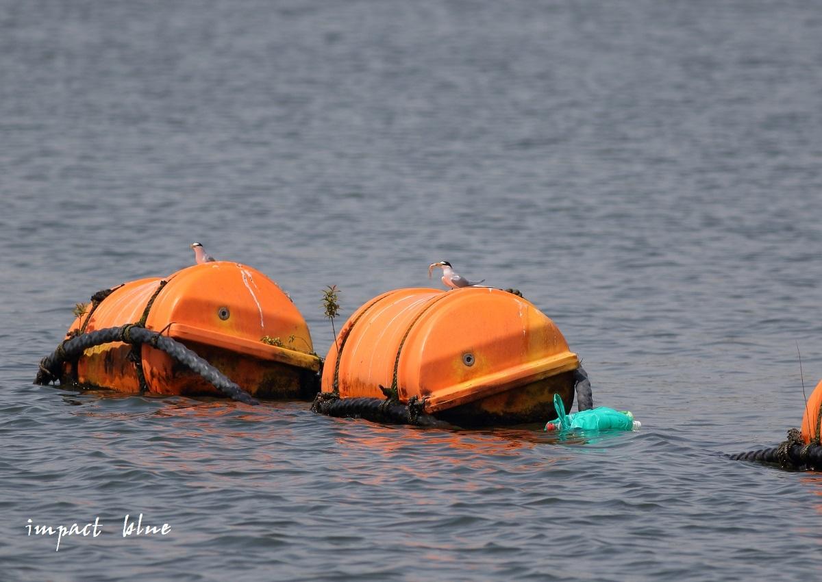 人工湖でコアジサシさん(^^)/ ~続~_a0355908_20075241.jpg