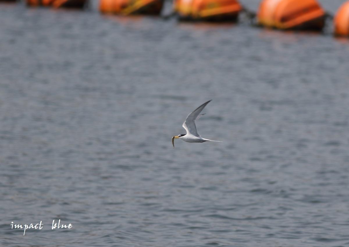 人工湖でコアジサシさん(^^)/ ~続~_a0355908_20075605.jpg