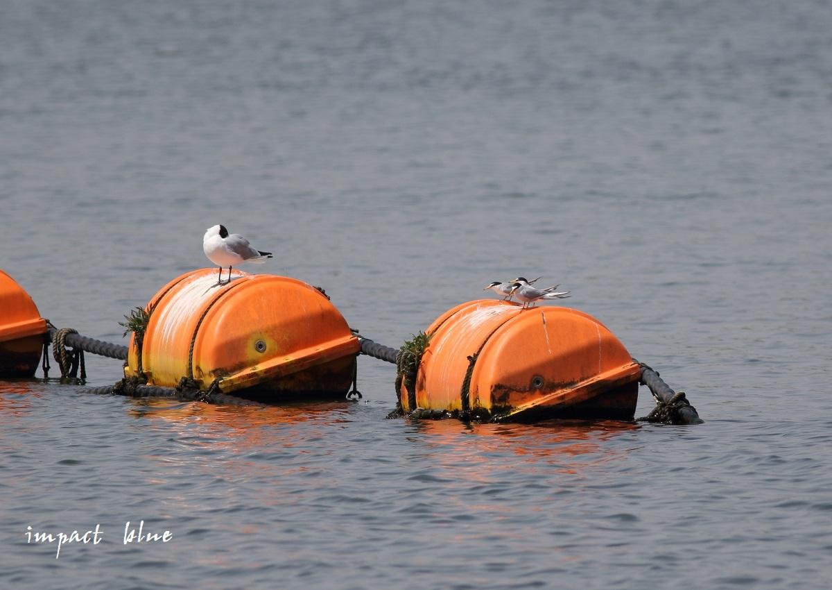 人工湖でコアジサシさん(^^)/ ~続~_a0355908_20080101.jpg