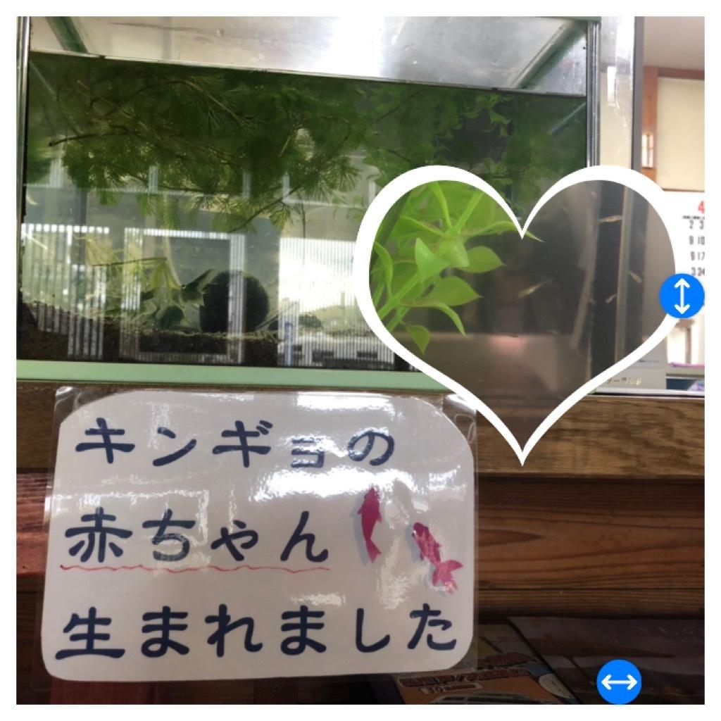 金魚赤ちゃん_d0155416_16444182.jpeg