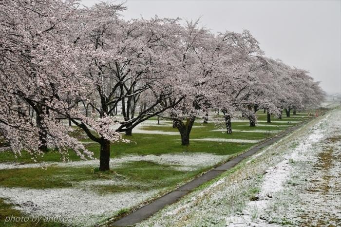 みちのく桜情景(雫石)_d0067934_10123106.jpg