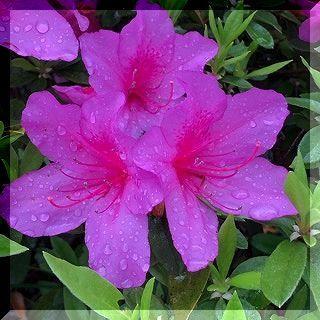 雨と ツツジの花。_e0054438_13404773.jpg