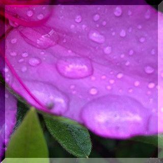 雨と ツツジの花。_e0054438_13410134.jpg