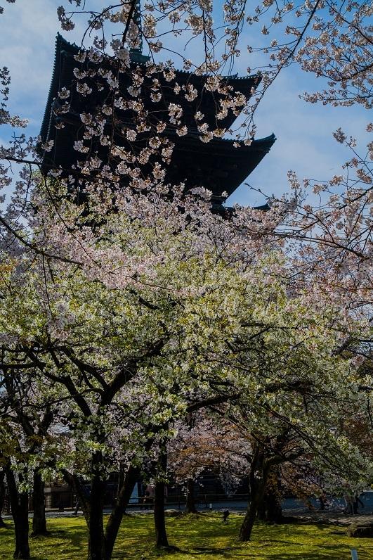 2019京都桜~東寺_e0363038_10550978.jpg