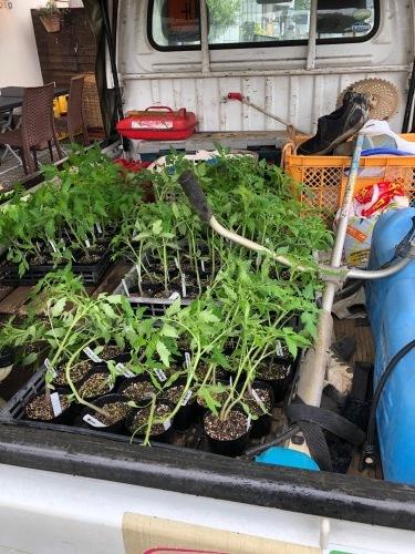トマトの定植今朝を予定していましたが 雨で断念 明日水が引いたら・・・_c0222448_15433931.jpg