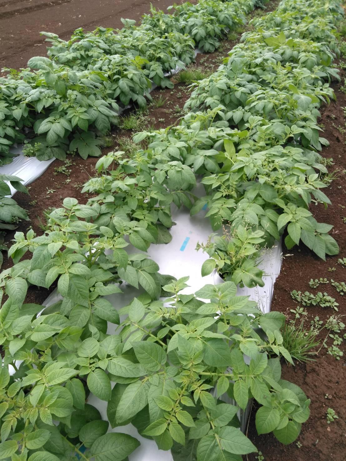 トマトの定植今朝を予定していましたが 雨で断念 明日水が引いたら・・・_c0222448_15445635.jpg