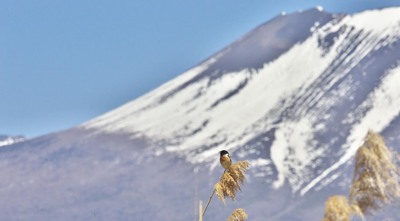 浅間山とノビタキ_c0217255_07255829.jpg