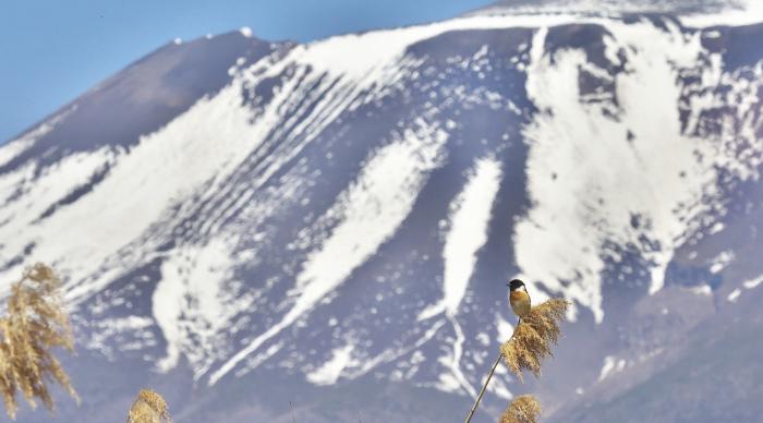 浅間山とノビタキ_c0217255_07260301.jpg