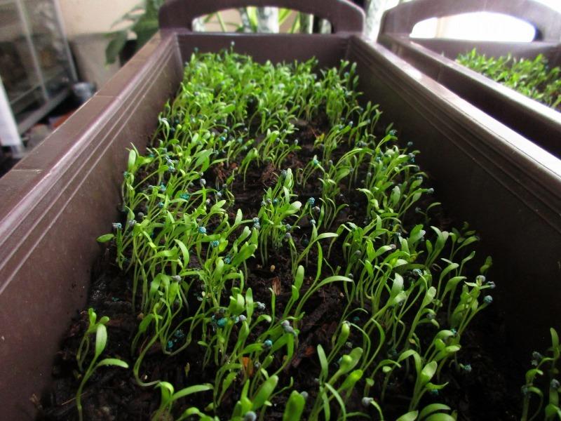 植物「ディコンドラを植えて16日経過」_b0362459_11215802.jpg