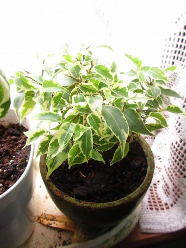 植物「ディコンドラを植えて16日経過」_b0362459_11254574.jpg