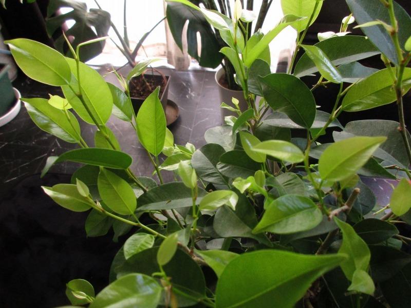 植物「ディコンドラを植えて16日経過」_b0362459_11323295.jpg