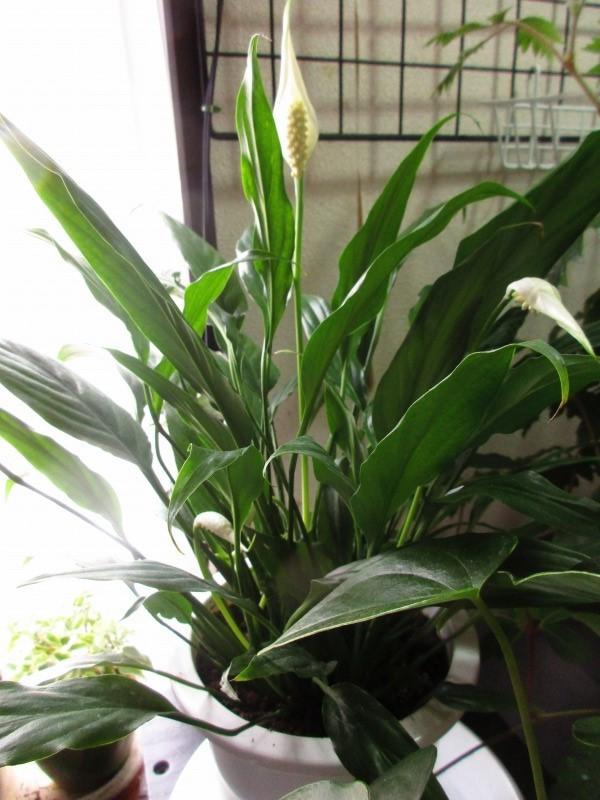 植物「ディコンドラを植えて16日経過」_b0362459_11350443.jpg