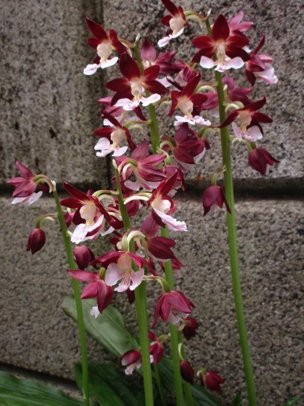植物「ディコンドラを植えて16日経過」_b0362459_11402539.jpg