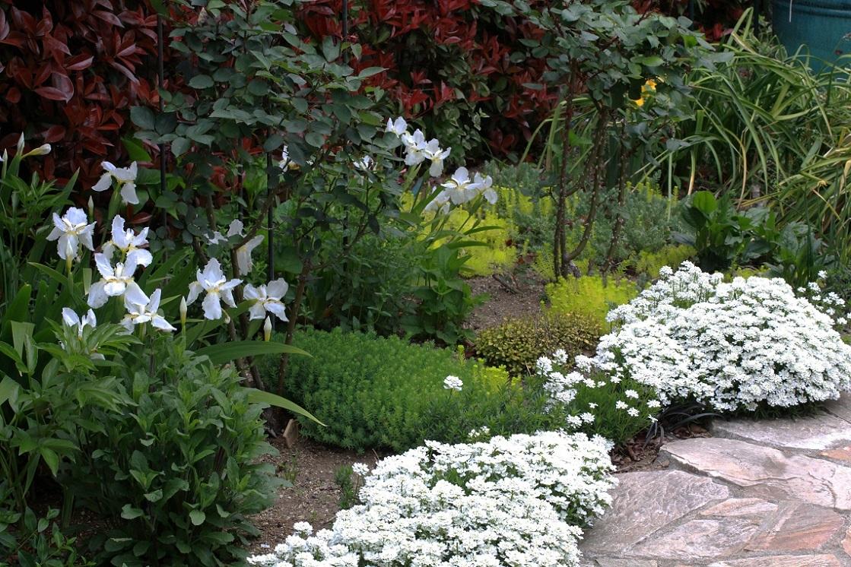 白い花たち ~オルレア、イベリス、イチハツ~_a0107574_18320773.jpg